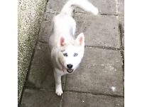 Luna tunes, my beautiful husky is now looking for a new home!