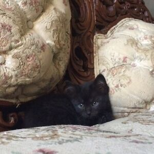 7 week old Kittens - Free to great homes