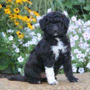 Looking for a poodle mix puppy