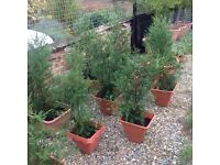 Seven 123 cm fencing trees £30 each