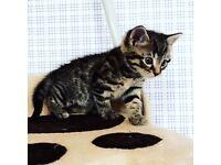 Male kitten ready to go £75