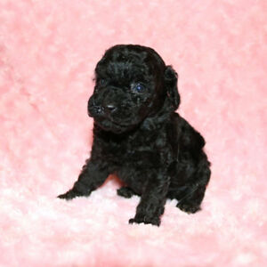 Toy Poodles & Teacup  - CKC REGISTERED