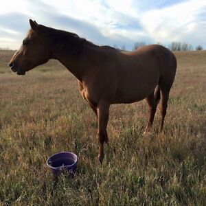 AQHA Registered Brood Mare for Sale.