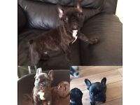 French bulldog puppy . Ready now. REDUCED.