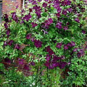 clematis viticella royal velours summer flowering climbing. Black Bedroom Furniture Sets. Home Design Ideas