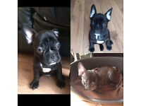 French bulldog male REDUCED