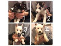 4 beautiful Siberian Husky pups