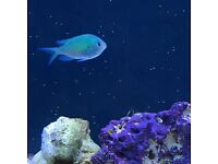 Blue green reef chromis x2
