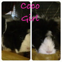 **** 2 Lovely Matured Guinea Pig, Coco and Martin***