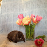 Adorable Holland Lop  Baby Bunnies For Sale