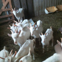 Pasture Ready Goats
