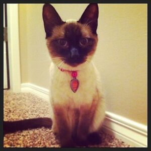 Looking for a loving home for our Siamese cat!