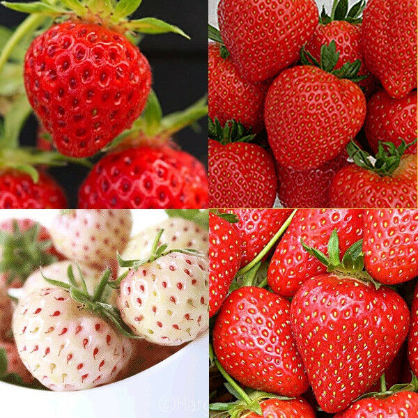 110+ Strawberry plants (11 varieties). Everbearing, June bearing, even White Strawberries!