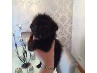 Shih Tzu cross pug puppies
