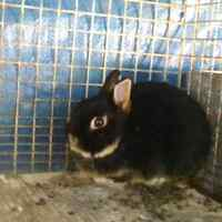 Dwarf male rabbit