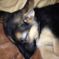 German Shepherd Puppy-Female