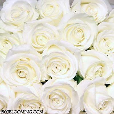 Fresh Cut White Roses, Flower Delivery, Bouquet-Event-Party-DIY-Bulk (12 or 24)