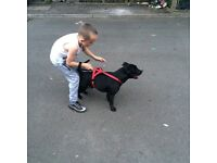Staff dog