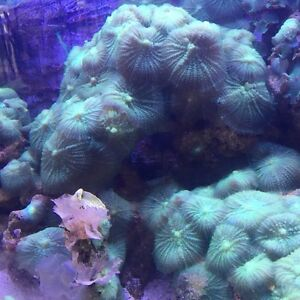 Green or Teal Mushroom Corals