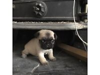 amazing litter of kc registered pug puppies