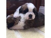 Large boned Saint Bernard pups