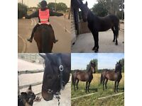 *14.3hh Welsh Part Bred* VERY SAFE 3 YEAR OLD!