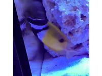 Marine fish foxface rabbitfish