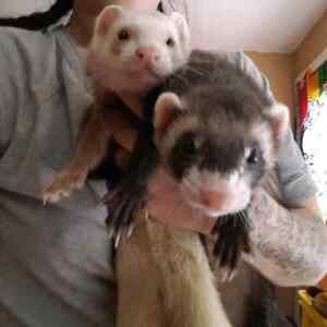 2 Very Playful Ferrets Available Only In A Pair