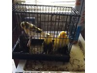 2Xpair Norwich canarys