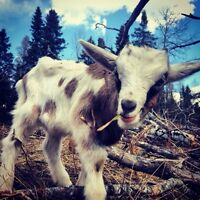 Male dairy goats for sale