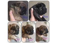 French bulldog puppies for sale will be selling as pets,