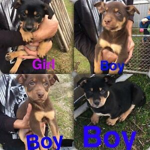 Purebred kelpie puppies Frankford West Tamar Preview