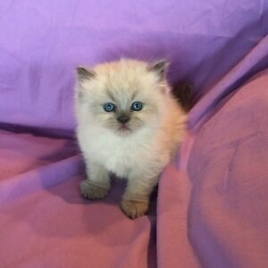 CCA Registered Himalayan Kittens