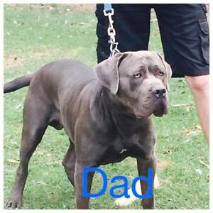Neo Mastiff Bandog puppies Logan Village Logan Area Preview