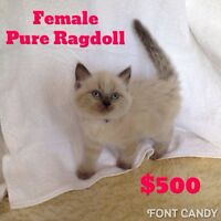 Pure Ragdoll blue point kittens. 1 male. 1 female.