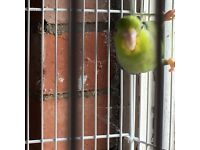 Male pied parrotlet