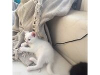 Kittens! 1 white female 1 black male
