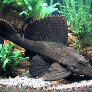 BEAUTIFUL, HEALTHY PLECO FOR SALE. NEED AT LEAST 80 GALLON