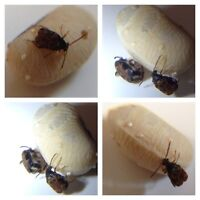 Bean Weevils - Feeder Insects