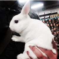 Mini Rex bunny rabbit for sale!