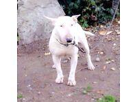 Englis bull terrier