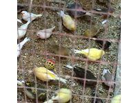 Mixed canaries