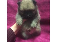 Pomeranian puppies ready now * price reduced * one left