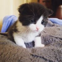 Hand raised rescue kitten needs a specific forever home