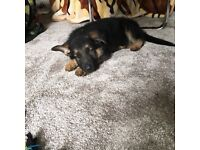 German shepherd puppy for sale , lots of extras !
