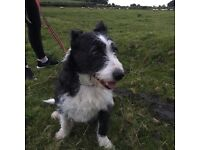 Westie x Border Collie looking for a forever home