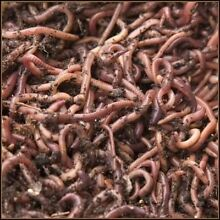 COMPOST WORMS/ FISHING WORMS CHEAP $30/1000 & FREE CASTINGS Crib Point Mornington Peninsula Preview