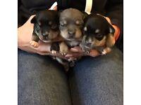 3 stunning Chihauhau puppies