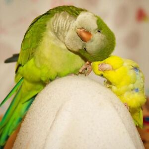 ❤❤ Extremely Friendly ★★QUAKER★★ Babies With CAGE❤❤