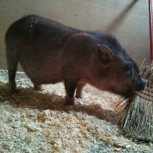 Mini pigs, Now accepting deposits !!